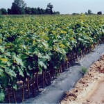 BioAgri for grape vines