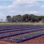BioAgri for lettuce in France
